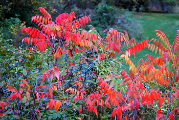 Oregon Grape Sumac Fall