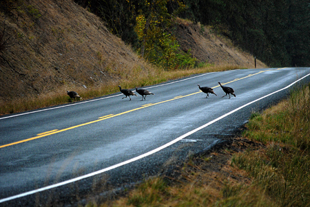 Turkeys crossing road