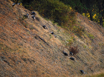 Turkeys on hill